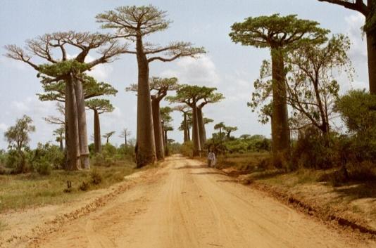 baobab_avenue_1
