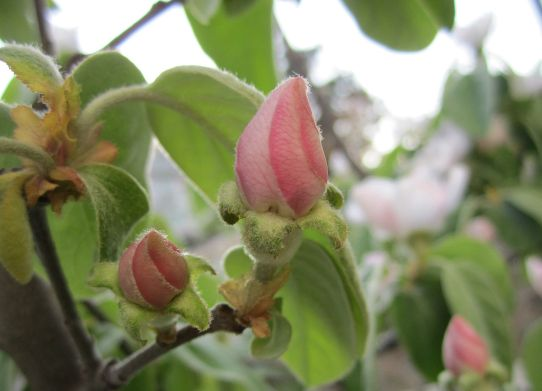 quince_blossom_with_removed_watermark