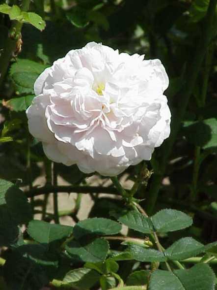rosa_alba2