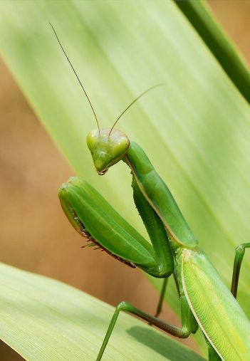 800px-mantid_august_2007-3