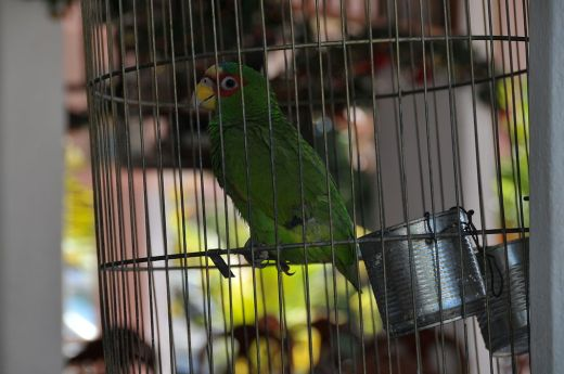 1024px-Amazona_albifrons_-pet_in_small_cage-6a