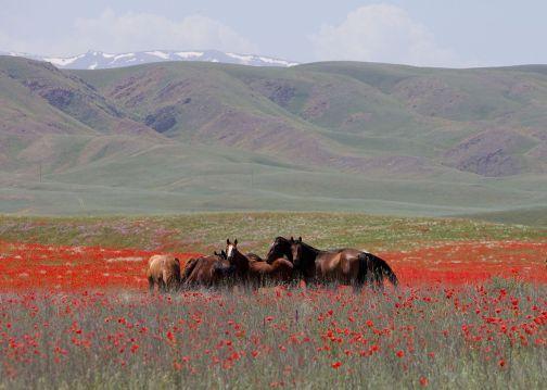 horses_in_kazakhstan