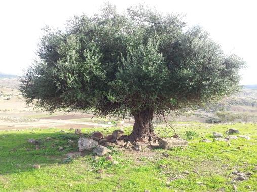 Olivier_d'Algérie