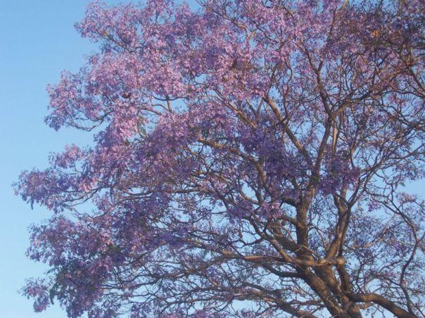 290px-Jacaranda_flowering