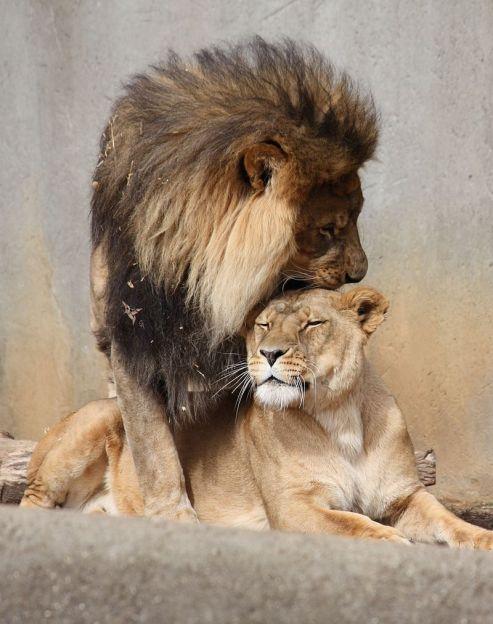 800px-Lion_Mating_Ritual