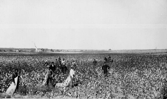 1024px-Cotton_field