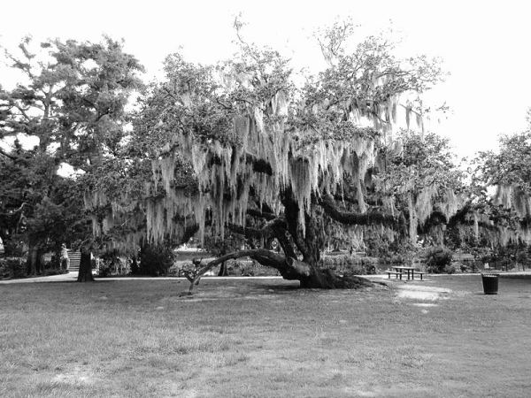 800px-City_Park_NOLA_4_July_2010_oak_with_Spanish_moss