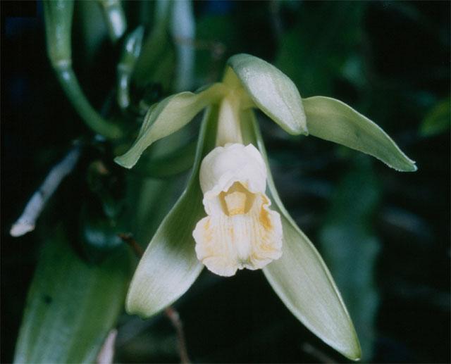 Vanilla_planifolia_1.jpg