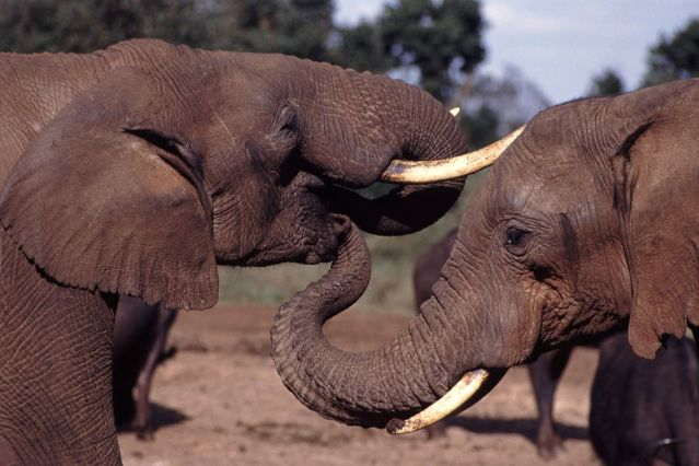 1024px-Elephant_With_Trunk_In_Others_Mouth.jpg