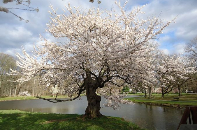 Tree_flowering_near_lake_in_Nomahegan_park_NJ.jpg