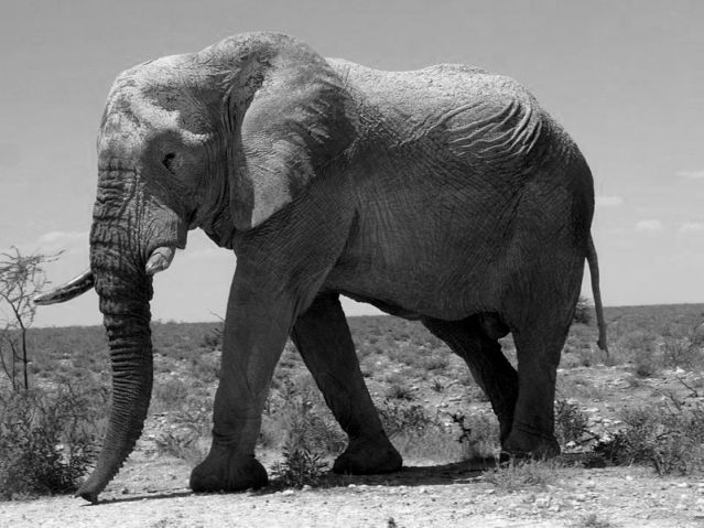 800px-Elephants_at_Etosha_National_Park03.JPG