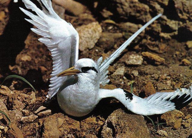 1024px-Tropicbird_Seychelles