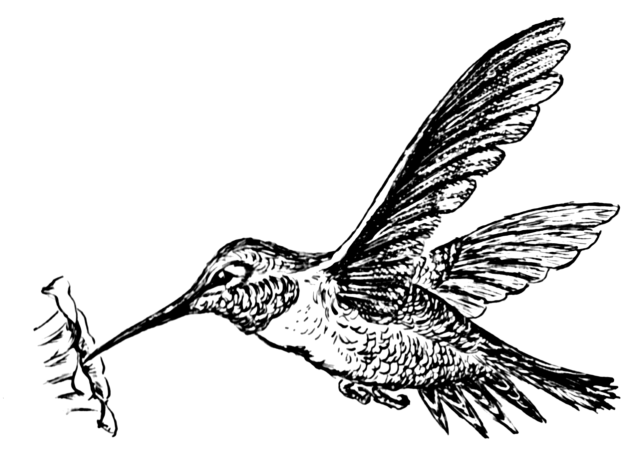 1280px-Hummingbird_(PSF).png