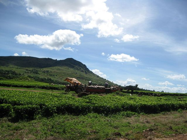 800px-Tea_plantation_near_Mulanje.jpg
