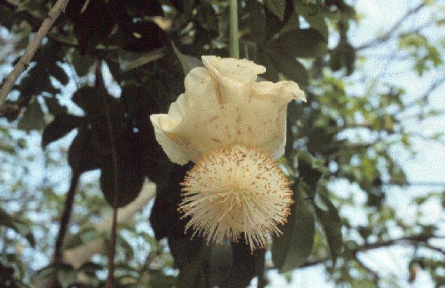 Adansonia_digitata_20050823_flower.png