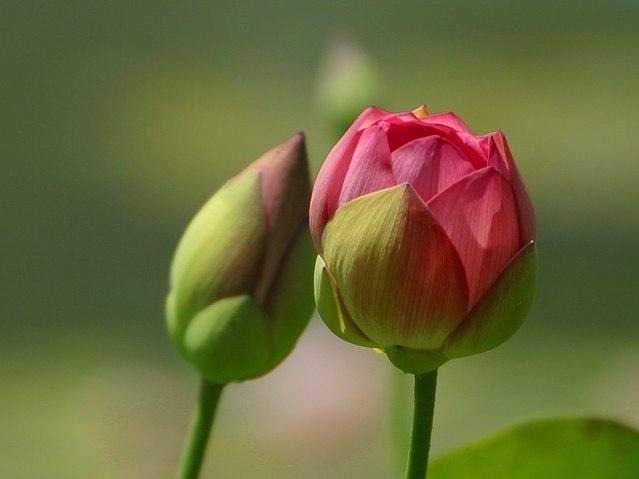 Flower_Buds.jpeg