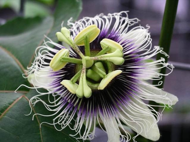 Passiflora_edulis_forma_flavicarpa.jpg