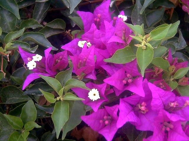1280px-Bougainvillea_spectabilis_Flowers_Closeup2_TorreLaMata.jpg