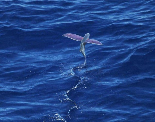 800px-Pink-wing_flying_fish